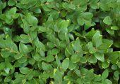 800px-Buxus_'Green_Velvet'_Leaves_2500px